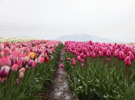 Tulip, Pink, Petal, Flower, Plant, Green, Leaf, Garden