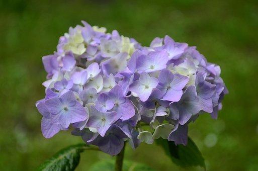 Hydrangea, Flower, Lilac, Closeup, Flowers