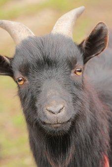 Animal, Head, Goat, Corners, Farm