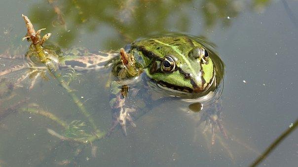 Frog, Amphibian, Green, Water, Animal, Pond