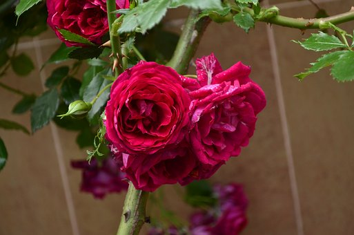 Rose, Flower, Red Rose, Beautiful Flower, Roses, Nature