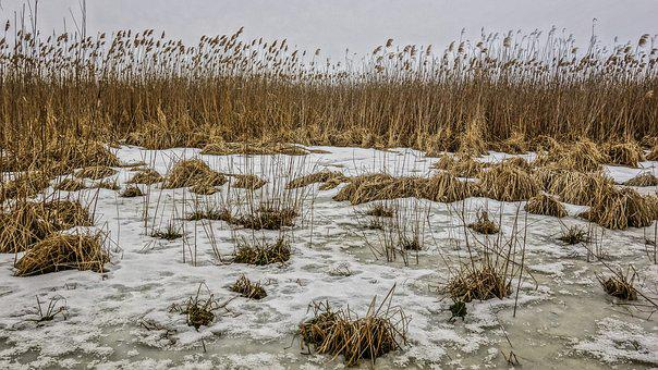 Winter, Reed, Ice, Snow, River