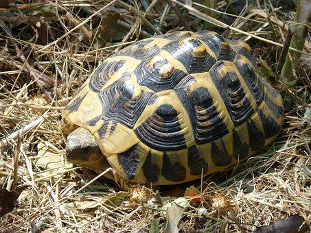 Mediterranean Tortoise, Shell, Priorat, Turtle