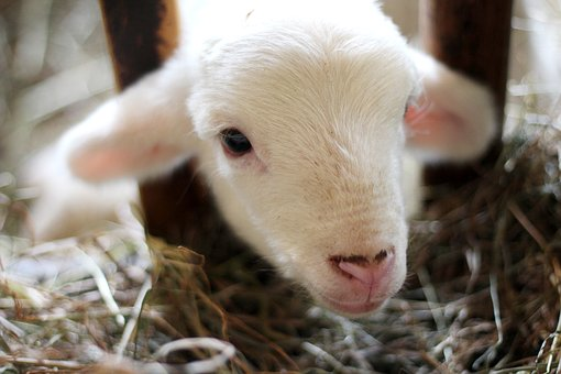 Sheep, Lamb, Ram, Pet, Animal, Outside, Wood, Blur