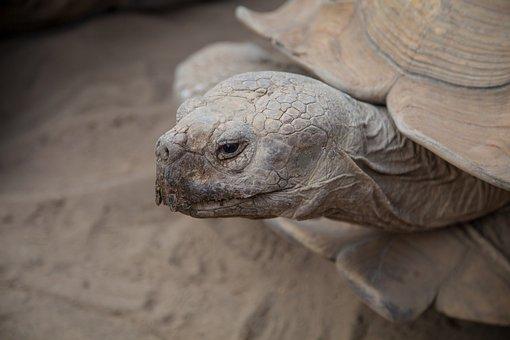 Turtle, Animal, Closeup, Tortoise, Shield, Reptiles