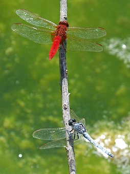 Red Dragonfly, Blue Dragonfly, Two Dragonflies, Detail