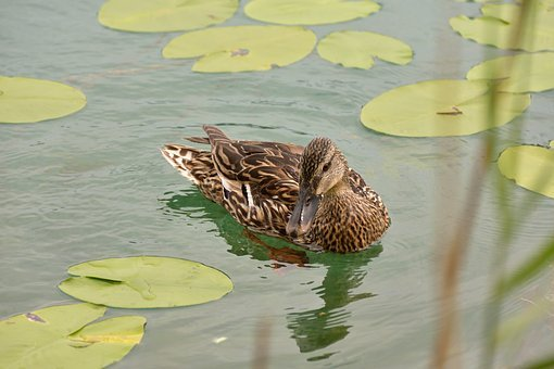 Duck, Lily Pad, Water, Lake, Green, Nature, Plant