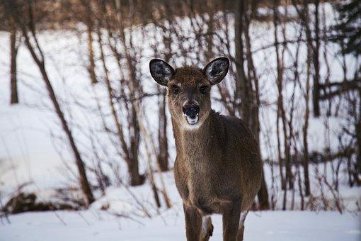 Deer, Animal, Wildlife, Forest, Snow, Winter, Cold