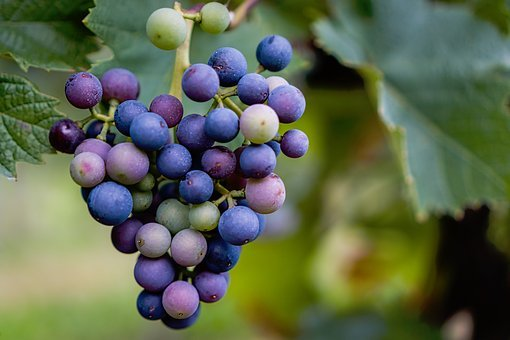 Nature, Leaves, Green, Fruit, Grapes, Purple