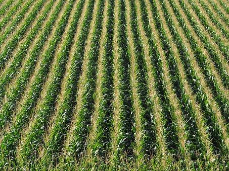 Corn, Field, Cornfield, Agriculture, Arable, Nature