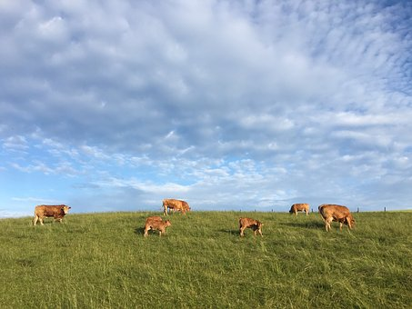 Pasture, Cows, Cattle, Animal, Graze, Agriculture