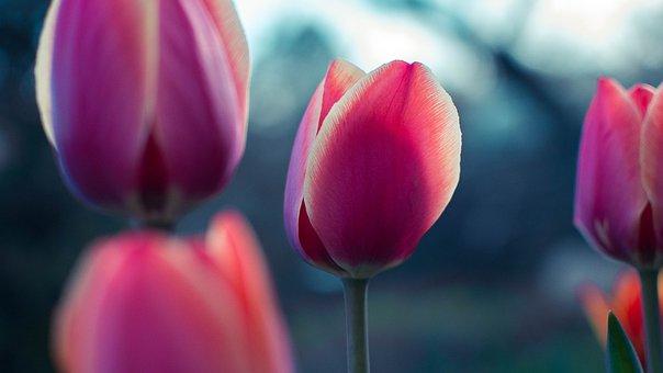 Pink, Tulip, Flower, Petal, Bloom, Nature, Plant, Blur