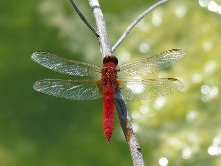 Red Dragonfly, Detail, Flashes, Wetland, Dragonfly