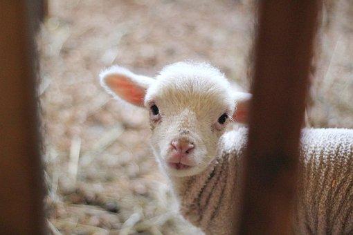 Sheep, Lamb, Ram, Animal, Outside, Wood, Blur