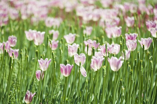 Tulips, Tulip, Flowers, Pink Tulip, Pink Flowers, Field