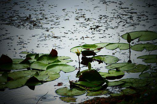 Water, Lily, Lilies, Flower, Pads, Frog, Green, Pond