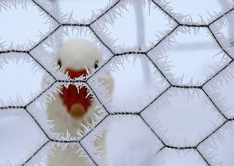 Nature, Animals, Winter, Snow, Geometry, Hexagon, Duck
