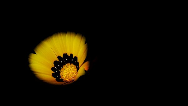 Yellow, Petal, Flower, Bloom, Nature, Plant, Black