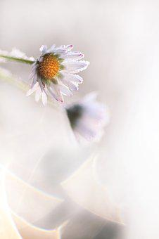 Madelief, Daisy, Flower, Winter, Ripe, White, Cold