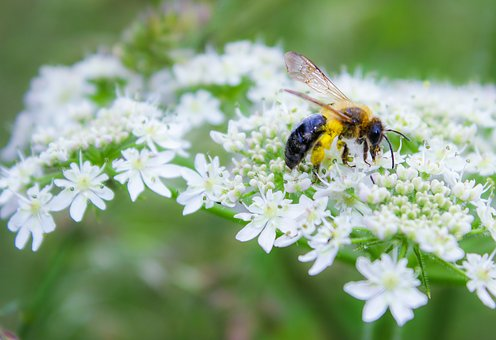 Bee, Insect, Flower, Nature, Pollen, Garden, Honey