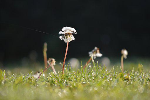 Dandy Lion Clock, Morning, Spider Thread, Grass, Na