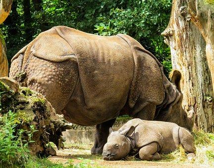 Animals, Rhino, Pachyderm, Mammal, Rhino Baby
