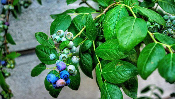 Fruit, Blueberry, Plant, Italy