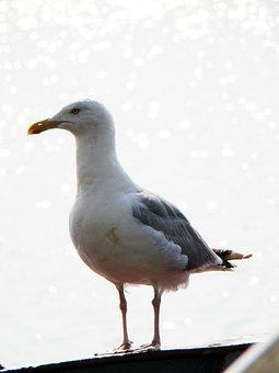 Seagull, Bird, Sea, Water, Herring Gull, The Baltic Sea