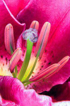 Lily, Stamens, Blossom, Bloom, Nature, Flora, Plant