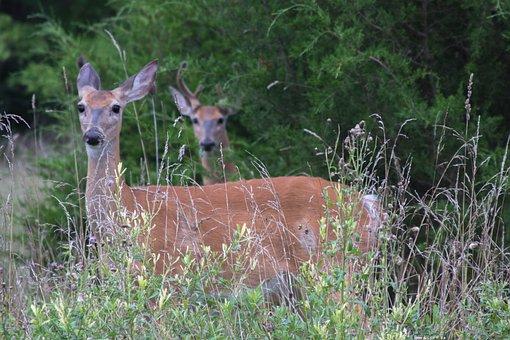 Deer, Animal, Outside, Nature