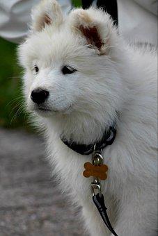 Dog, Puppy, White, Samoyed, Pet, Animal, Cute, Adorable