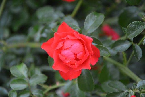 Rose Bud, Pink, Red, Rosebush, Bouquet, Garden, Flower