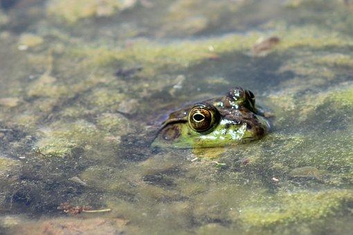 Frog, Pond, Lake, Water, Nature, Animal, Wildlife