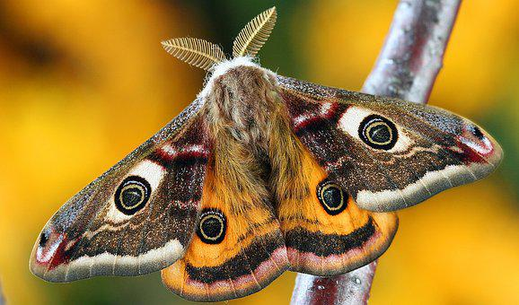Moth, Lepidoptera, Insect, Macro, Uk, Nature
