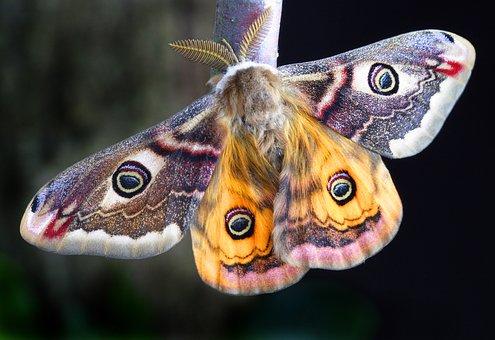 Moth, Insect, Lepidoptera, Uk, Macro