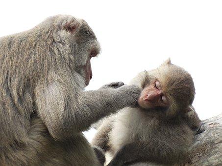 Taiwan Macaques, Shoushan, Macaque, Taiwan, Kaohsiung