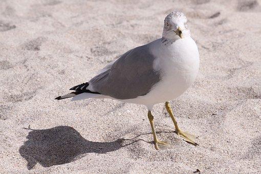 Seagull, Beach, Close Up, Bird, Animal, White, Nature
