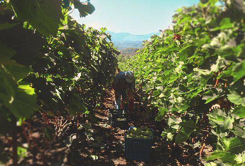 Grapes, Grapevines, Wine, Perspective, Farmer, Old