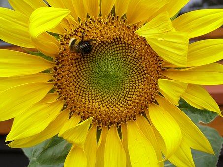 Common Sunflower, Plant, Yellow, Sunflower