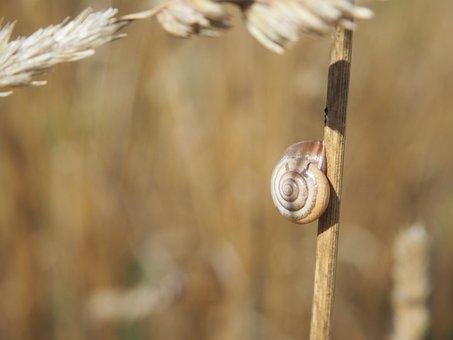 Snail, Shell, Cereals, Field, Snail Shells, Nature