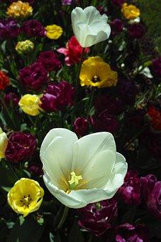 Tulips, White, Flower, Purple, Tree, Nature, Green