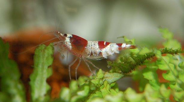 Shrimp, Water Creature, Aquarium, Aquatic Animal, Small