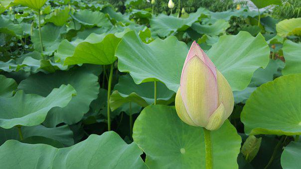 Lotus, Aquatic Plants, Plants, Nature, Landscape
