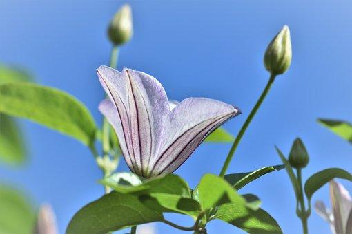 Clematis, Flower, Blossom, Bloom, Bloom, Plant, Garden