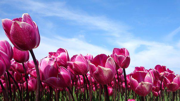Tulips, Holland, Spring, Tulip, Netherlands, Nature