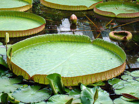 Foliage, Large Sheets, Lily, The Leaves On The Water