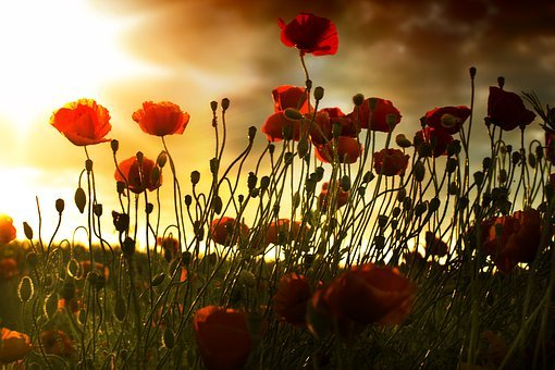 Poppy, Field, Sunset, Wallpaper, Manipulation, Graphics