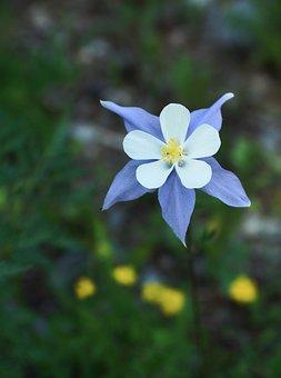 Columbine, Blue, Bloom, Flower, Nature, Colorado