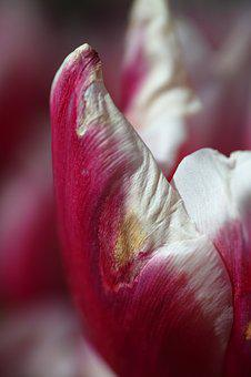 Tulips, Flower, Flowers, Macro, Plant, Nature, Close