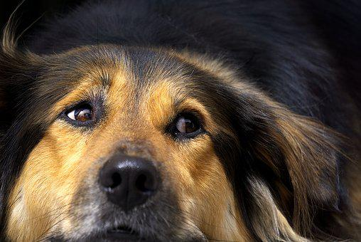 Dog, Nose, Close, Head, Tired, Relax, Relaxation, Watch
